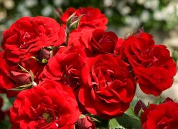 Rooside soodusmüügi nädal 3 - 12 augustil